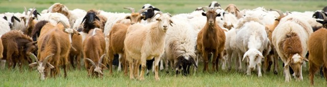 sheep-goats-940x250.jpg